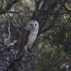 Tyto alba (Barn Owl) at Jerrabomberra Wetlands - 3 Sep 2018 by Alison Milton