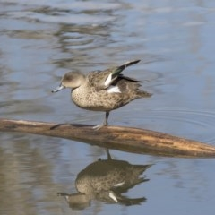 Anas gracilis (Grey Teal) at Jerrabomberra Wetlands - 3 Sep 2018 by Alison Milton