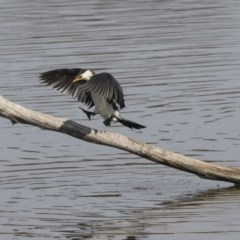 Microcarbo melanoleucos (Little Pied Cormorant) at Jerrabomberra Wetlands - 3 Sep 2018 by Alison Milton