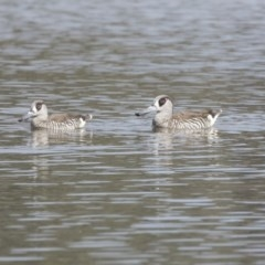 Malacorhynchus membranaceus at Jerrabomberra Wetlands - 3 Sep 2018