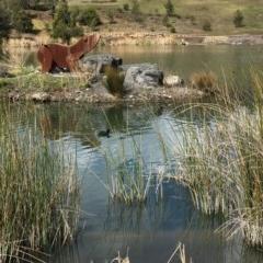 Fulica atra (Eurasian Coot) at Conjola National Park - 4 Sep 2018 by Firetail