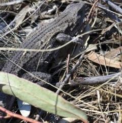 Amphibolurus muricatus at Michelago, NSW - 2 Sep 2018