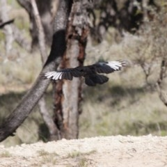 Corcorax melanorhamphos (White-winged Chough) at Illilanga & Baroona - 16 Dec 2011 by Illilanga