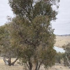 Eucalyptus dives (Broad-leaved Peppermint) at Illilanga & Baroona - 23 Aug 2018 by Illilanga