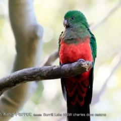 Alisterus scapularis (Australian King-parrot) at Undefined - 1 Sep 2018 by CharlesDove
