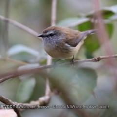 Gerygone mouki (Brown Gerygone) at Ulladulla Wildflower Reserve - 2 Sep 2018 by CharlesDove