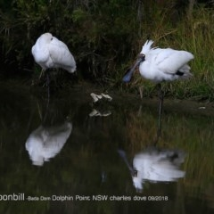 Platalea regia (Royal Spoonbill) at Wairo Beach and Dolphin Point - 31 Aug 2018 by Charles Dove