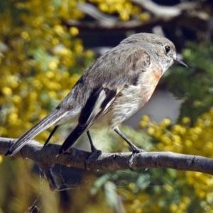 Petroica boodang at Jerrabomberra Wetlands - 5 Sep 2018