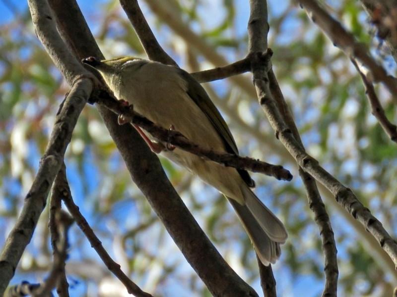 Ptilotula penicillata at Jerrabomberra Wetlands - 5 Sep 2018