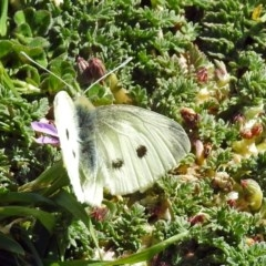 Pieris rapae (Cabbage White) at Jerrabomberra Wetlands - 5 Sep 2018 by RodDeb