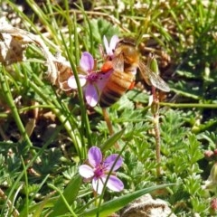 Apis mellifera (European honey bee) at Jerrabomberra Wetlands - 5 Sep 2018 by RodDeb