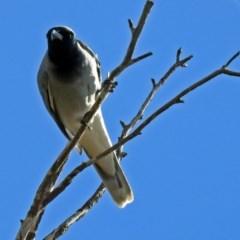 Coracina novaehollandiae (Black-faced Cuckooshrike) at Jerrabomberra Wetlands - 5 Sep 2018 by RodDeb