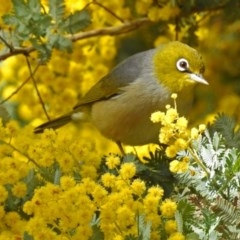 Zosterops lateralis (Silvereye) at Jerrabomberra Wetlands - 5 Sep 2018 by RodDeb