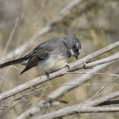 Rhipidura fuliginosa (Grey Fantail) at Jerrabomberra Wetlands - 3 Sep 2018 by Alison Milton