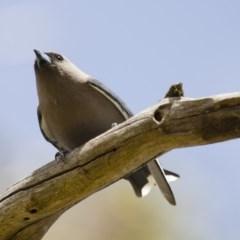 Artamus cyanopterus (Dusky Woodswallow) at Michelago, NSW - 18 Sep 2012 by Illilanga