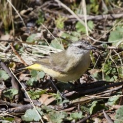 Acanthiza chrysorrhoa (Yellow-rumped Thornbill) at Illilanga & Baroona - 15 Sep 2012 by Illilanga