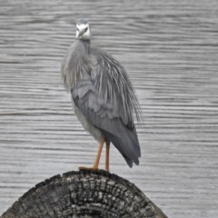 Egretta novaehollandiae (White-faced Heron) at Jerrabomberra Wetlands - 6 Sep 2018 by RodDeb