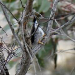 Daphoenositta chrysoptera (Varied Sittella) at Wandiyali-Environa Conservation Area - 7 Sep 2018 by Wandiyali