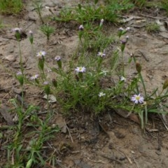 Vittadinia muelleri (Narrow-leafed New Holland Daisy) at Black Mountain - 15 Feb 2015 by RWPurdie