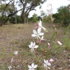 Oenothera lindheimeri (Clockweed) at Mount Mugga Mugga - 21 Feb 2015 by Mike