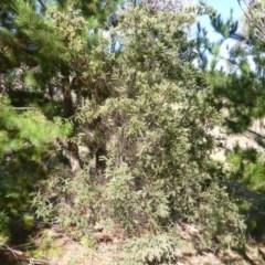 Acacia pravissima (Wedge-leaved Wattle) at Jerrabomberra, ACT - 22 Feb 2015 by Mike
