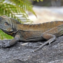 Intellagama lesueurii (Eastern Water Dragon) at ANBG - 7 Sep 2018 by RodDeb
