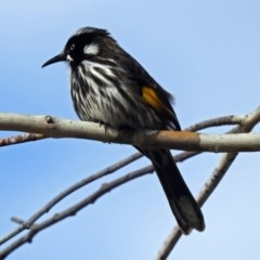 Phylidonyris novaehollandiae (New Holland Honeyeater) at ANBG - 7 Sep 2018 by RodDeb