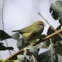 Acanthiza lineata (Striated Thornbill) at Tidbinbilla Nature Reserve - 1 Sep 2018 by BIrdsinCanberra