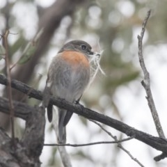 Petroica boodang (Scarlet Robin) at The Pinnacle - 8 Sep 2018 by Alison Milton