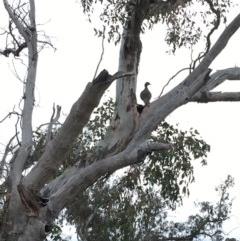 Chenonetta jubata (Australian Wood Duck) at Hughes Grassy Woodland - 7 Sep 2018 by KL