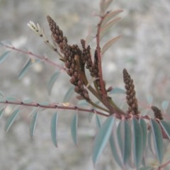 Indigofera australis subsp. australis (Australian Indigo) at Mount Taylor - 8 Sep 2018 by MatthewFrawley