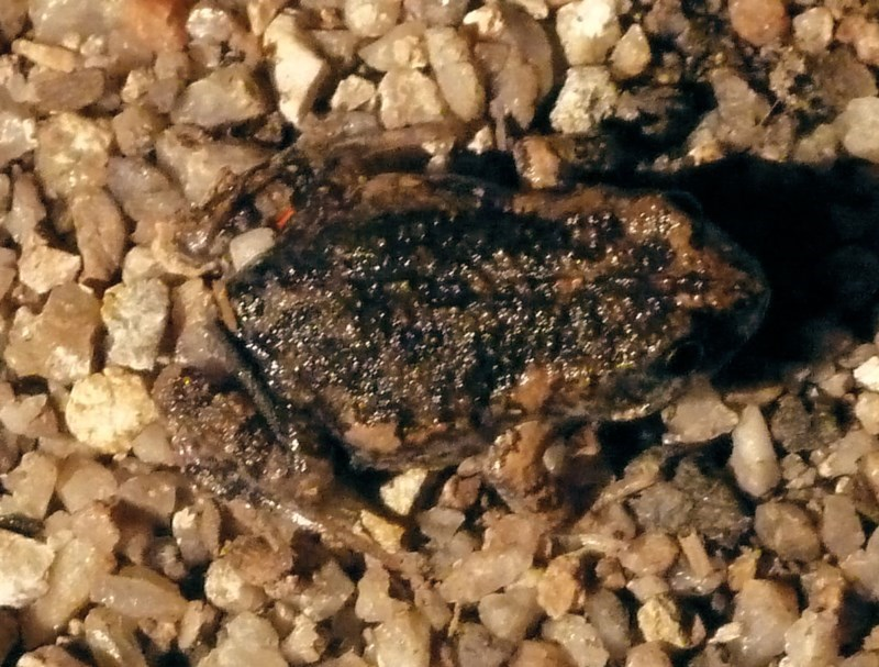 Uperoleia laevigata at Tidbinbilla Nature Reserve - 7 Nov 2010