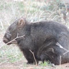 Vombatus ursinus (Wombat) at Point Hut to Tharwa - 2 Sep 2018 by michaelb