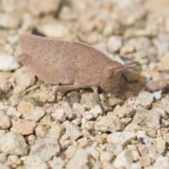 Goniaea australasiae (Gumleaf grasshopper) at Mulligans Flat - 9 Sep 2018 by AlisonMilton