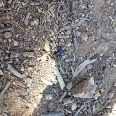 Missulena occatoria (Red-headed Mouse Spider) at Mount Ainslie - 9 Sep 2018 by samreid007