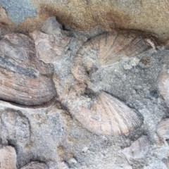 Bivalve .... Desmodont (Desmodont Shell) at Murramarang National Park - 8 Sep 2018 by mjjefferis