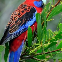 Platycercus elegans (Crimson Rosella) at South Pacific Heathland Reserve - 3 Sep 2018 by Charles Dove