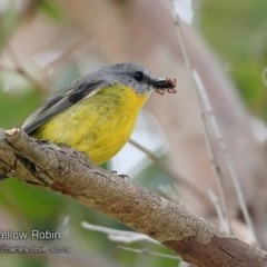 Eopsaltria australis (Eastern Yellow Robin) at Ulladulla - Millards Creek - 5 Sep 2018 by CharlesDove