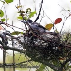 Cracticus torquatus (Grey Butcherbird) at Ulladulla - Millards Creek - 5 Sep 2018 by CharlesDove