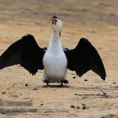 Microcarbo melanoleucos (Little Pied Cormorant) at Undefined - 6 Sep 2018 by Charles Dove