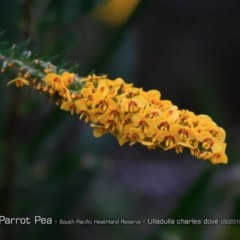 Dillwynia floribunda (Flowery parrot-pea, Showy parrot-pea) at South Pacific Heathland Reserve - 30 Aug 2018 by CharlesDove