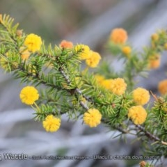 Acacia echinula at South Pacific Heathland Reserve - 30 Aug 2018 by CharlesDove