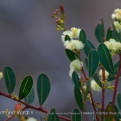 Acacia myrtifolia (Myrtle Wattle) at South Pacific Heathland Reserve - 30 Aug 2018 by CharlesDove