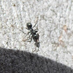 Anonychomyrma sp. (genus) (Black Cocktail Ant) at Aranda Bushland - 9 Sep 2018 by Christine