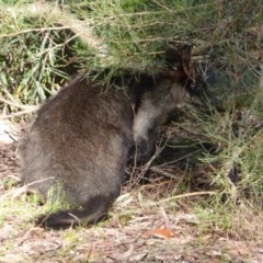 Wallabia bicolor (Swamp Wallaby) at ANBG - 7 Sep 2018 by Christine