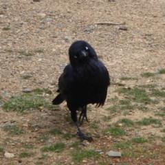 Corvus coronoides (Australian Raven) at Jerrabomberra Wetlands - 3 Sep 2018 by Christine