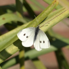 Pieris rapae (Cabbage White) at Kambah, ACT - 10 Sep 2018 by MatthewFrawley