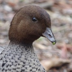 Chenonetta jubata (Australian Wood Duck) at ANBG - 6 Sep 2018 by roymcd