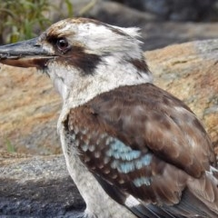 Dacelo novaeguineae (Laughing Kookaburra) at ANBG - 7 Sep 2018 by RodDeb