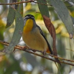 Pardalotus punctatus (Spotted Pardalote) at ANBG - 10 Sep 2018 by RodDeb